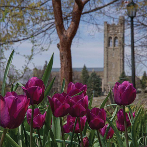 UC Tower and Tulips